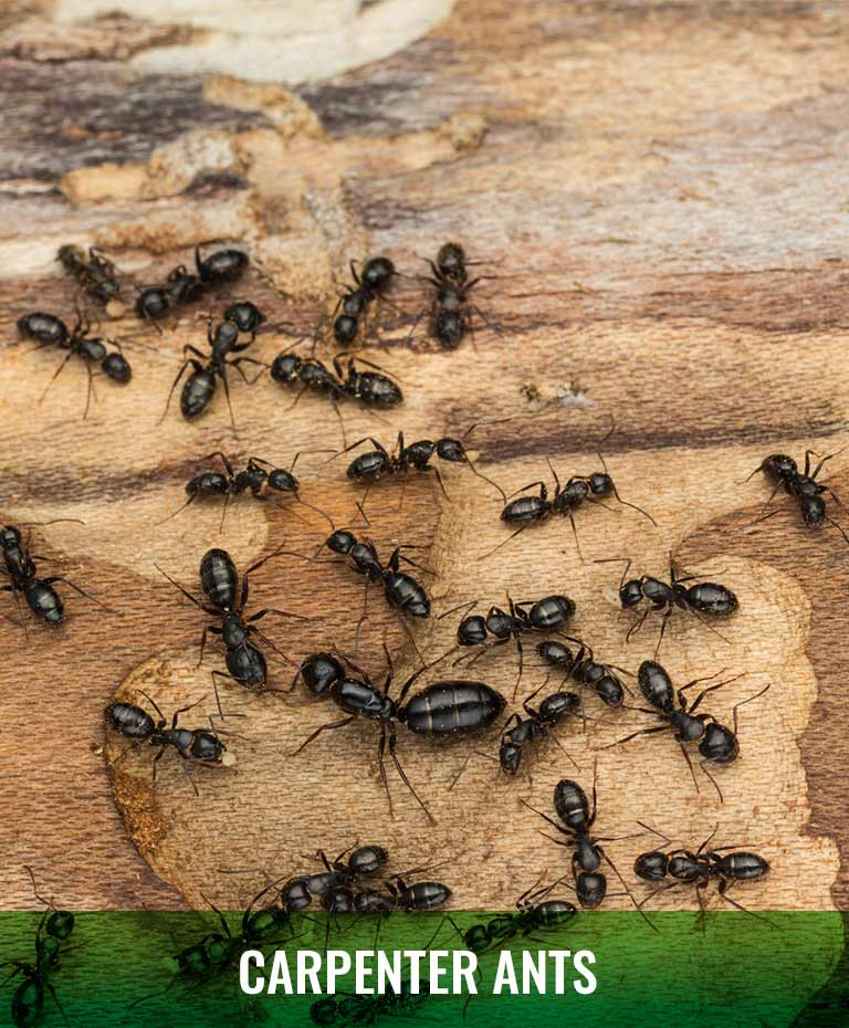 Ant removal Green Piper Pest Control Grande Prairie