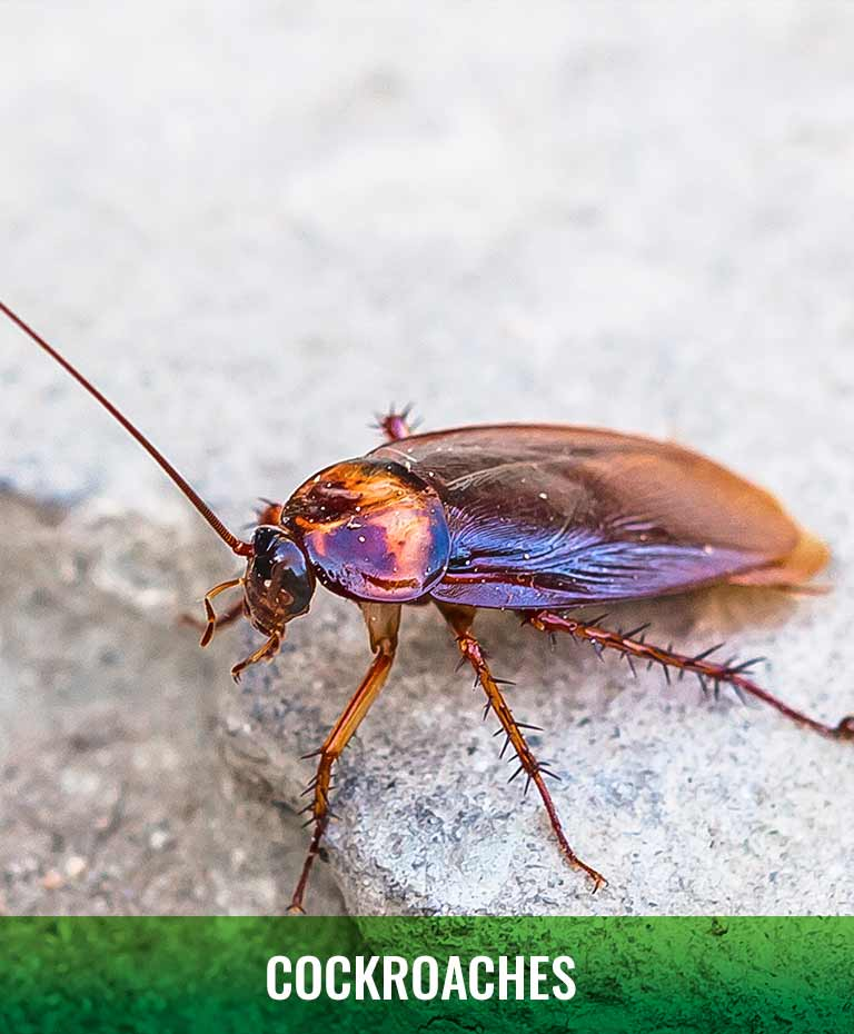 Cockroach infestation Green Piper Pest Control Grande Prairie